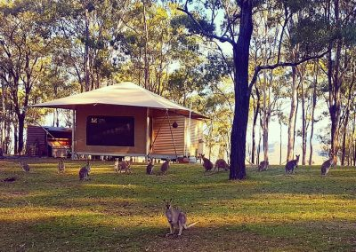 Wallabies next to Glamping Tent