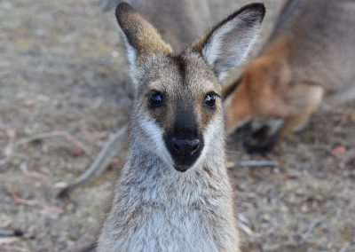 Scenic Rim Wildlife - Wallaby