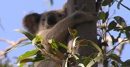 Koala Season At Ketchup's Bank Glamping