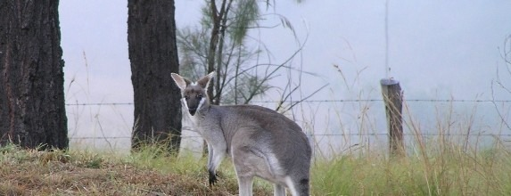 Wallaby Watching Prime Time