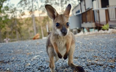 Welcoming New Wallaby Joey's at Ketchup's Bank Glamping