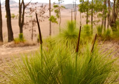 Native Grass Trees
