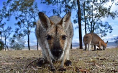 Where To Travel: Glamping With Wallabies